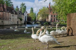 View of the square with swans near the Begijnhof in Bruges, Belgium. Area designated for swans in the historic Bruges old town.