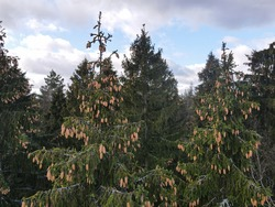 View of the top of the evergreen tree - many fir cones hang on the branches against the blue sky with white clouds - background. The photo was taken on a quadrocopter