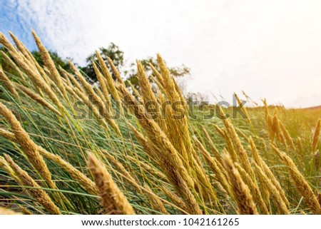 view of the yellow spikelets, toned #1042161265