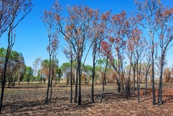 View of trees in the bushland near Anbangbang Billabong, Kadadu National Park, Northern Territory, Australia with the bark blackened and charred as a result of a bushfire