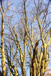 View of treetops from several beech trees in the nature reserve Urwald Sababurg near Kasse
