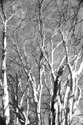View of treetops of several beech trees in the nature reserve Urwald Sababurg near Kassel, infrared photo
