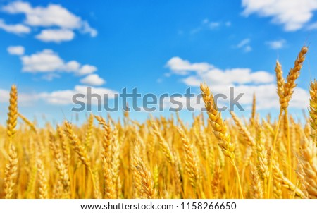 View of wheat ears and blue cloudy sky #1158266650