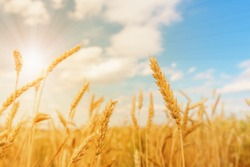 View of wheat ears and blue cloudy sky with sun