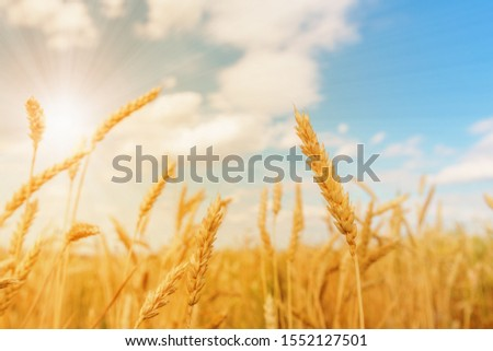 View of wheat ears and blue cloudy sky with sun stock photo