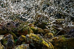 View of white plum blossoms above mossy rocks on a beautiful sunny day with vibrant spring ambiance; Flourishing branches of a plum tree blooming over the mossy rocks under bright sunshine