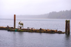 View of wild stellar sea lions by the ocean on a hazy morning in Ucluelet, Vancouver Island, Canada