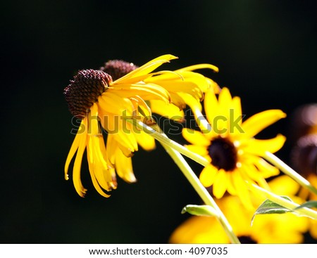 View of yellow coneflowers on black background (also called prairie coneflower, attracts honeybees and butterflies)
