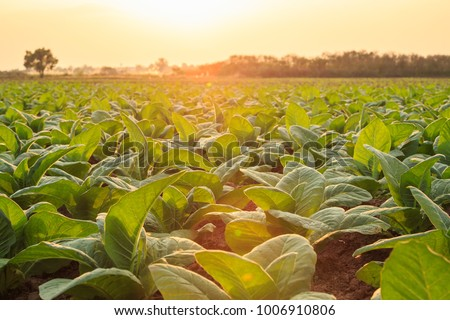 View of young green tobacco plant in field at Sukhothai province northern of Thailand Stock photo ©