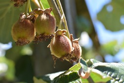 View of young kiwi fruit