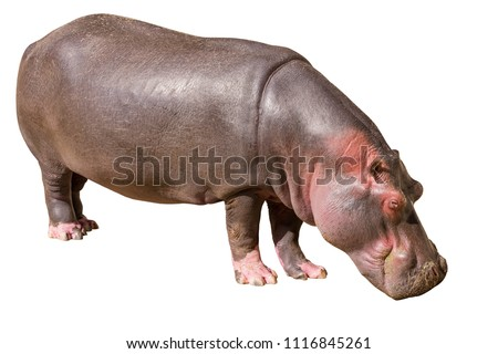View on a Common hippopotamus isolated on white background, seen in South Africa, Africa. Hippos are the third largest land mammal and very dangerous, aggressive and unpredictable.