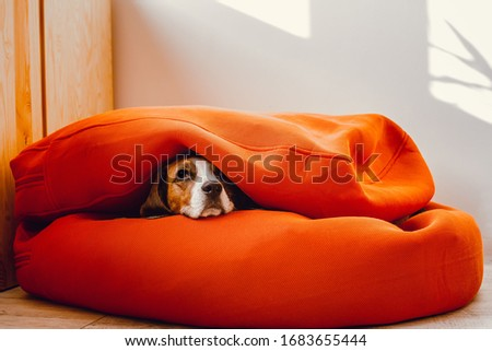 View on a living room with big orange bean bag pouf and scared beagle dog hidden inside the human furniture. Foto stock ©