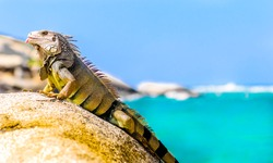 view on iguana on a rock in national park Tayrona in Colombia