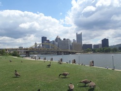 View on Pittsburgh skyline and Allegheny River from Three Rivers Heritage Trail - Pennsylvania - USA vith placid geese leisurely grazing on a neat lawn