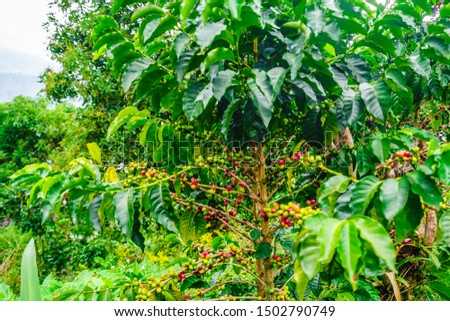 View on Red and Green Organic Coffee Fruits On Branches next to villgae Jardin, Colombia