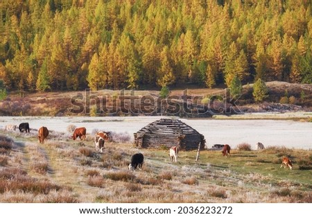 View on shepherd's house ail and herd of cows on ALtai mountain plateau Eshtykel. Altai, Siberia, Russia Foto stock ©