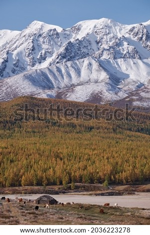View on shepherd's house ail and herd of cows on ALtai mountain plateau Eshtykel. North Chui ridge is on background. Altai, Siberia, Russia Foto stock ©