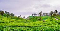 View on tea Plantation next to Haputale, Sri Lanka