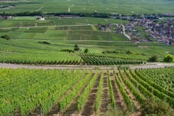 View on the  alsacian vineyard in Sigolsheim - Kientzheim - Kaysersberg form the  Necropolis, World War military cemetery in Alsace -  France in Sigolsheim.
