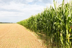 View on the edge of a cornfield. Symbol for farming and agriculture.