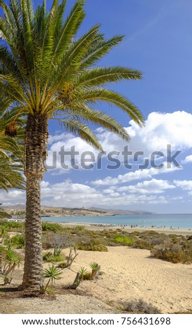 View on the palm tree and the beach Costa Calma on the Canary Island Fuerteventura, Spain.