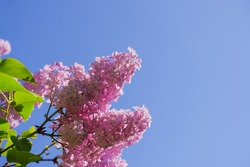 View on the pink flowers of the lilac - with space for text or other ideas.Lilac branches on a background of blue sky. Flowering bush. Blue sky. pink lilac. spring or summer time