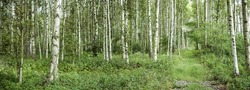 View over a birch forest, Sweden.