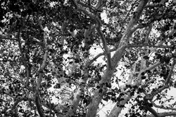 View through a tangle of branches in birch or beech large tree with white bark and silhouette leaves creating contrast in monochrome.
