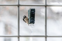 View through glass window of home of Downy woodpecker bird animal perching on hanging metal suet cake feeder cage in Virginia with winter snow blurry background