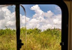 View through open window of safari vehicle at swarm of invasive Desert Locusts flying above lush green vegetation. Samburu National Reserve, Kenya. Last outbreak was 70 years ago.Schistocerca gregaria