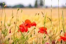 View through poppies and grasses on the side of the road to the cornfield