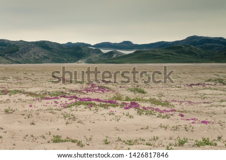 View through the Sandflugtdalen desert valley towards the mountains and Greenlandic icecap, pink flowers in the middle of the desert, Kangerlussuaq, Greenland #1426817846