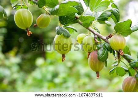 View to fresh green gooseberries on a branch of gooseberry bush in the garden. Close up view of the organic gooseberry berry hangs on a branch under the leaves. Stock photo ©