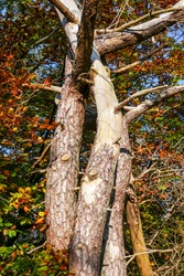 View up along three intertwined tree trunks with beautiful bright autumn foliage.