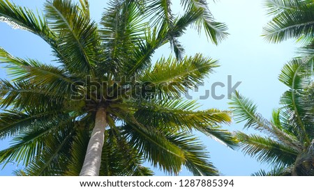 Photo of View up or bottom view coconut palm trees forest in sunshine. Royalty high-quality free stock photo image scenic view tall coconut palm tree with sun light in the forest when looking up blue sky