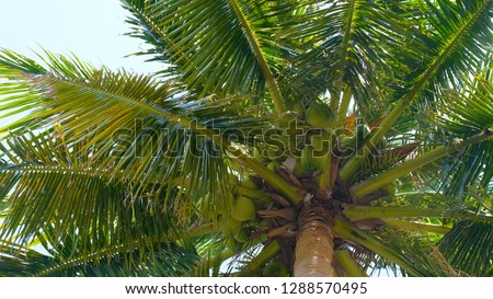 View up or bottom view coconut palm trees forest in sunshine. Royalty high-quality free stock photo image scenic view tall coconut palm tree with sun light in the forest when looking up blue sky