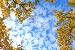 View up to the blue sky with light clouds through oak branches with bright yellow autumn foliage.