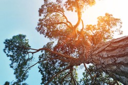 view upper to big pine tree from below on blue sky background with orange sun light ray on evening