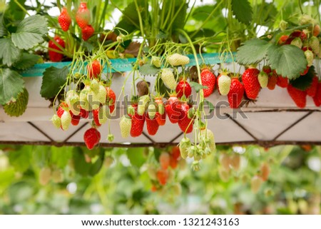 Views of a soiless field of strawberry plants with plenty of fruits ranging from immature to ripe in Villeton near Tonneins and Mamande, Lot et Garonne, France. #1321243163