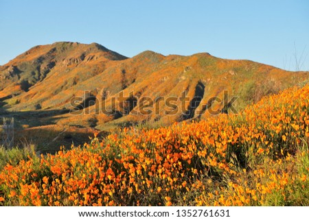 Views of California Poppies (Eschscholzia californica) and other flowers during the California Super Bloom from the Walker Canyon Trail near Lake Elsinore, California, USA on March 14, 2019