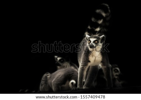 Vigilant and ready to protect the family feline lemur on a dark background with sleeping other lemurs. Symbol of male protection and care.