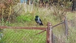Vigilant Wild Black and Gray Jackdaw Corvus Crow Bird Sitting on Rusty Fence and Flying Away