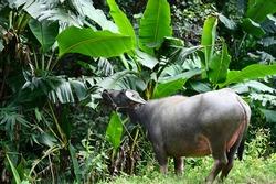 Vigorous gray Asian buffalo (wild buffalo) graciously eats young leaves of banana trees on the edge of the forest.Buffalo is a herbivorous ruminant. Likes to soak in muddy water Farmers like to raise.