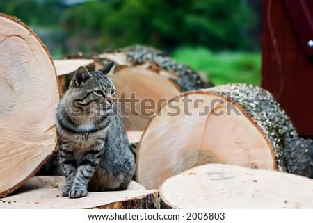 Village Cat v1