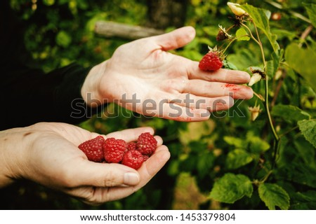 Village lifestyle, season of raspberries, picking details.