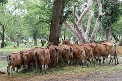 Villagers in the interior of Lombok, Indonesia mostly raise cows.  Cows are bred for sale and for meat consumption