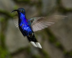 Vilolet Sabrewing Hummingbird at the Monteverde Cloud Forest of Costa Rica