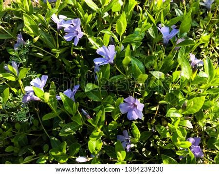 Vinca flower or Madagascar Periwinkle, Rose Periwinkle, Rosy Periwinkle, Catharanthus roseus. #1384239230