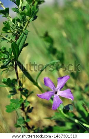 Vinca major (bigleaf periwinkle, large periwinkle, greater periwinkle, blue periwinkle) flower, grassand background, close up detail #1467301310