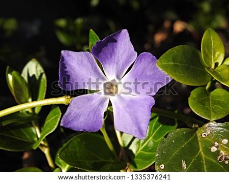 Vinca major flower (bigleaf periwinkle, large periwinkle, greater periwinkle and blue periwinkle), species of purple flowering plant in the family Apocynaceae, native to the western Mediterranean #1335376241